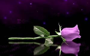 Purple Rose Flowers 6 Widescreen Wallpaper ...