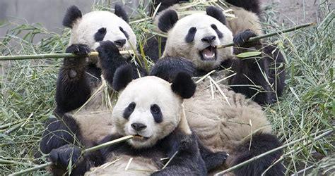el panda gigante deja de estar en peligro de extincion