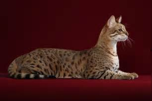 hypoallergenic cats price top 10 most expensive cat breeds wow amazing