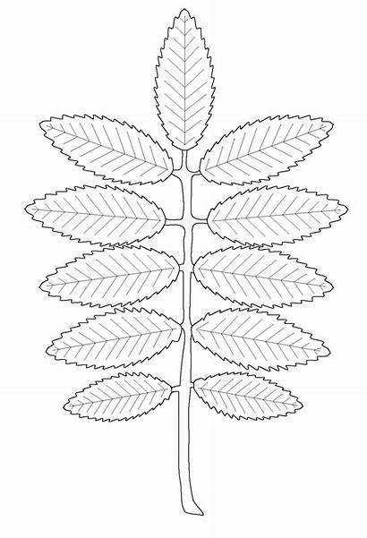 Rowan Coloring Leaf Colorear Hojas Leaves Colorkid