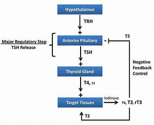 Thyroid Hormone Synthesis Functions Levels Effects ...