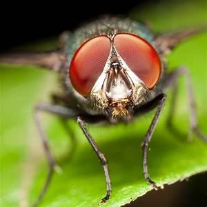 Why do Flies have Compound Eyes?   Pitara Kids Network