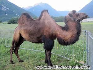 Course De Chameau : quelle est la difference entre chameau et dromadaire ~ Medecine-chirurgie-esthetiques.com Avis de Voitures