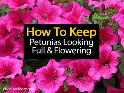 how to keep petunias looking and flowering