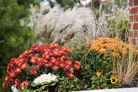 4 Steps to Growing Hardy Mums
