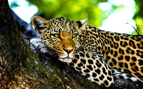 Leopard 1440x900 Wallpaper / Hintergrundbild