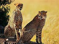 African Safari Animals Cheetah