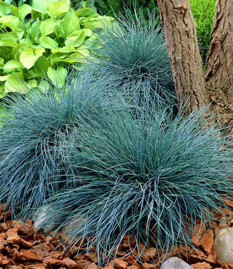 Ziergras 'elijah Blue'  Gartenstauden Bei Baldurgarten