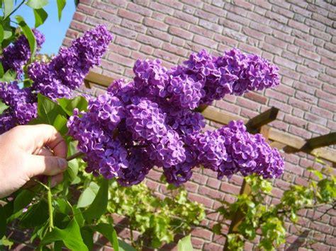 Flieder Pflanzen Schneiden Und Vermehren by Flieder Schneiden F 252 R Reiche Und Aromatische Bl 252 Ten
