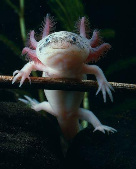 Cute Axolotl Sea Creatures