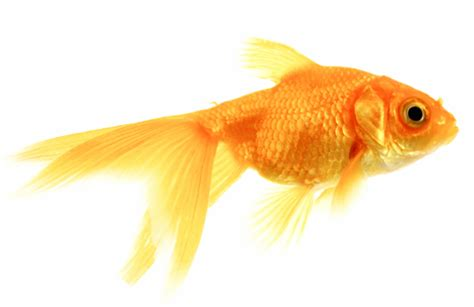 pictures  goldfish beautiful  hd