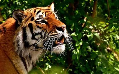 Tiger Predator Cat Fur Wallpapers Wildlife Dangerous