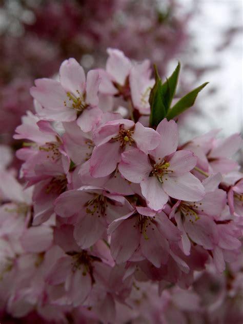 garden housecalls autumn flowering cherry