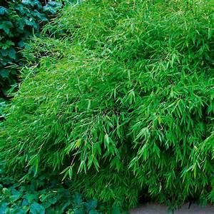 Immergrüne Pflanzen Winterhart Kübel : ergebnisse zu bambus immergruene ~ Lizthompson.info Haus und Dekorationen