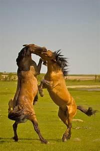 Wild Horses: Fighting  Wild