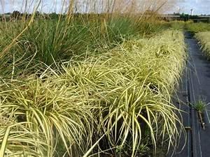 Carex Hachijoensis Evergold Pflege : carex hachijoensis evergold laiche gramin es ~ Lizthompson.info Haus und Dekorationen