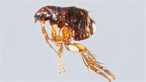 fleas pest control  garden city georgia savannah