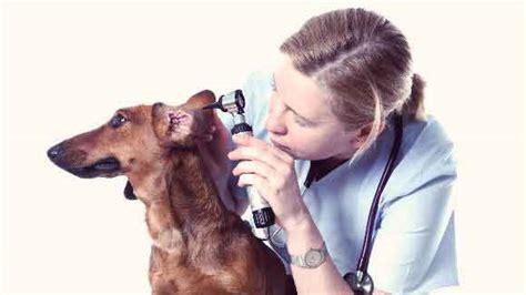 otitis externa  dogs petcarerx