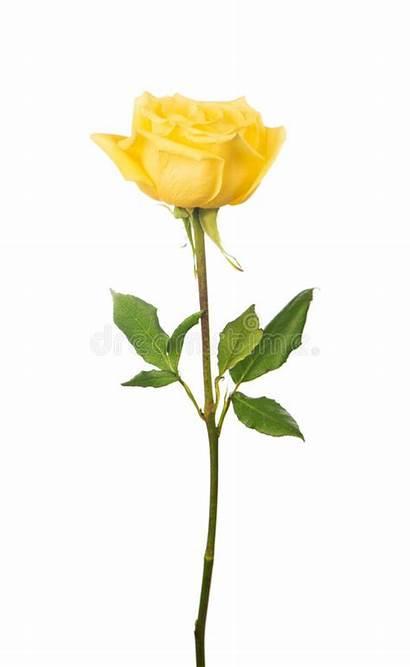 Yellow Rose Stem Rosa Tattoo Meaning Nam