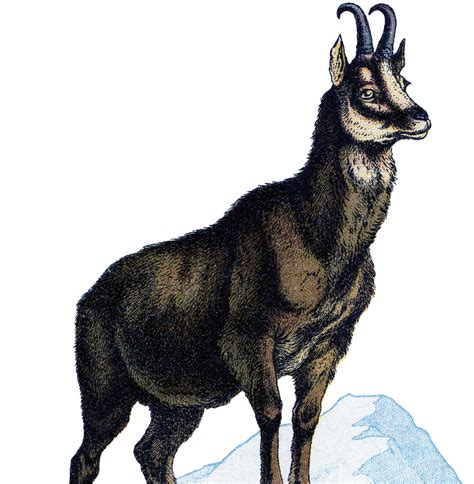 chamois clipart clipground