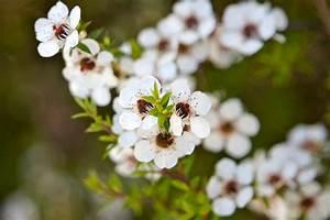 Warum Machen Bienen Honig : manuka honig der besondere honig aus neuseeland ~ Whattoseeinmadrid.com Haus und Dekorationen