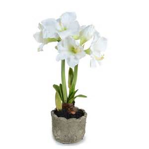 amaryllis plant care amaryllis plant new growth designs