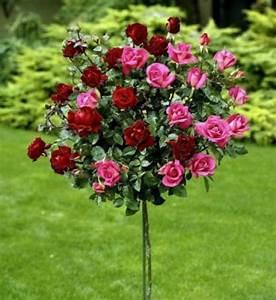 Pflanze Mit Roten Blüten : rosenst mmchen zwei auf eins 1 pflanze mit roten und rosa ~ Eleganceandgraceweddings.com Haus und Dekorationen
