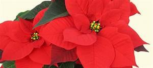 Weihnachtsstern Pflanze Kaufen : weihnachtsstern flammendes rot f r das zuhause gr gott ~ Michelbontemps.com Haus und Dekorationen