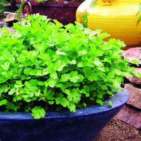 growing cilantro small space edible gardens