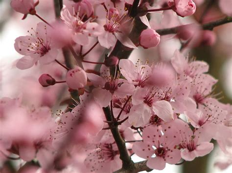 cherry blossom plants flowers for flower lovers cherry blossom pictures