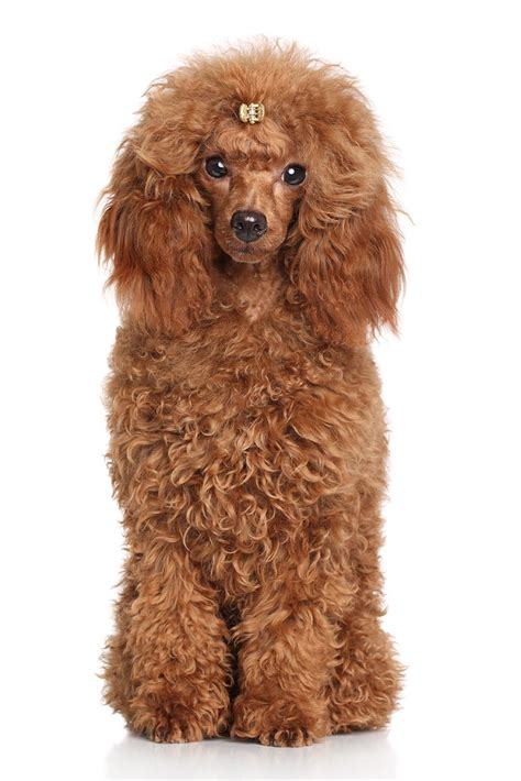 miniature poodle breed guide petbarn