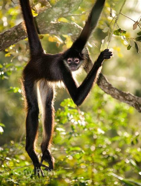 monkey spider mexico monkeys animals prehensile ateles uploaded pets