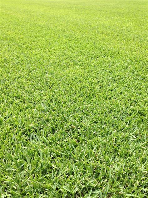what type of grass is sod st augustine grass sod types pearland houston grass south tx