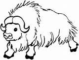 Buffalo Coloring Animals Wildlife Bison Yak sketch template