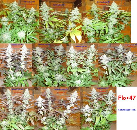 faire pousser du cannabis interieur fin du rin 231 age et r 233 colte du cannabis semaines 9 et 10 de