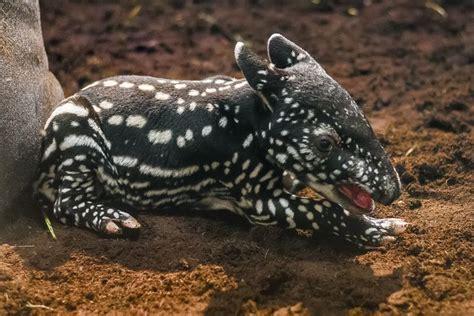testo zoo de roma un cucciolo di tapiro della malesia la nuova dello