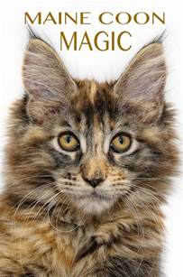 the cat site maine coon cats the happy cat site