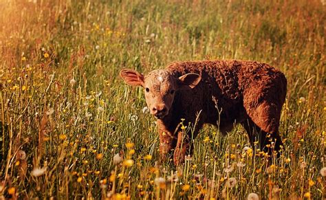 photo calf red young animal livestock