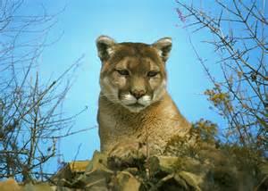 California Mountain Lion