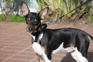 Toy Fox Terrier Chihuahua Mix