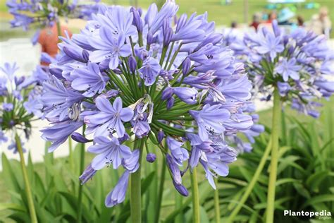 plant agapanthus the lily of the nile flower agapanthus plant how to