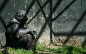 Even the Gorillas and Bears in Our Zoos Are Hooked on ...