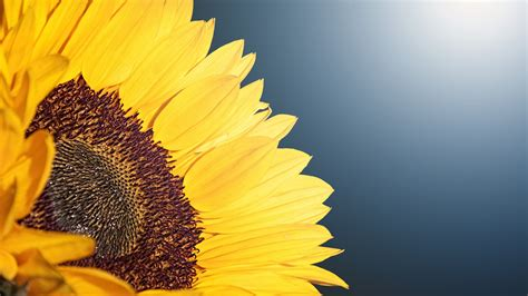 wallpaper sunflower sunlight  flowers