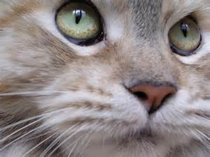 Maine Coon Cat Close Up