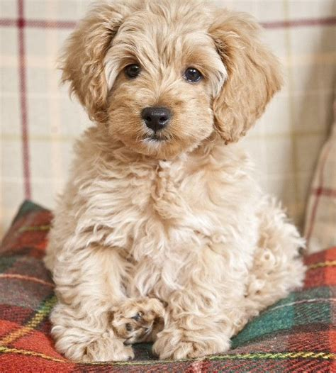 do mini cockapoos shed 411 best dogs mix breed images on animals