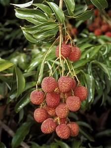 Arbre A Fruit : caribfruits litchi letchi fruits tropicaux ~ Melissatoandfro.com Idées de Décoration