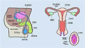 Labelled Diagram Of Female Reproductive System
