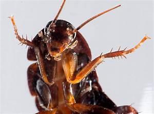 Können Kakerlaken Fliegen : arten von heimischen kakerlaken ansicht von kakerlaken ~ Watch28wear.com Haus und Dekorationen