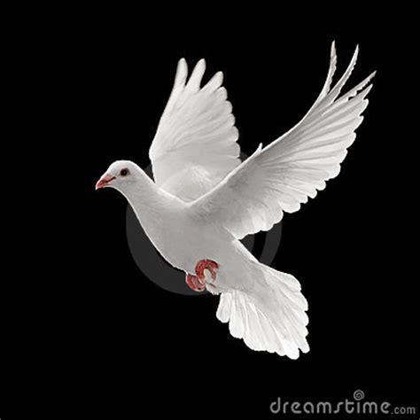 pigoen flying royalty  stock image image