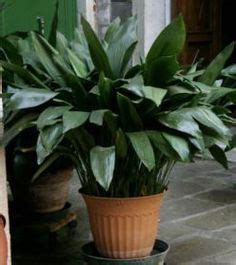 low light indoor plants safe for cats houseplants safe for cats on pinterest low lights